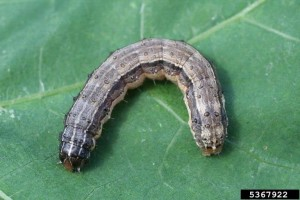 Cover photo for Fall Armyworms Make Unwelcomed Visit to Lincoln Co. Crop Fields