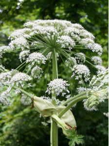 Cover photo for Giant Hogweed Concerns