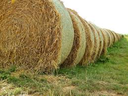 Cover photo for No Rain in Fall Causes Hay Shortage in Spring
