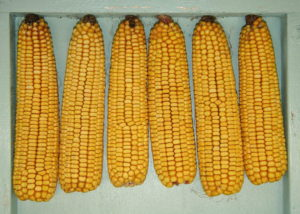 Cover photo for Corn Official Variety Testing Results