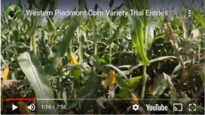 Cover photo for Western Piedmont Corn Variety Trial